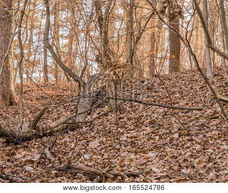 Winter landscape of a fallen tree in the forest with brown leaves on the forest floor.