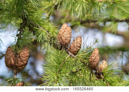 Green larch tree branches with brown cones in summer forest close up