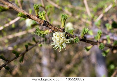 Branch of larch with young green needles and flower in spring.