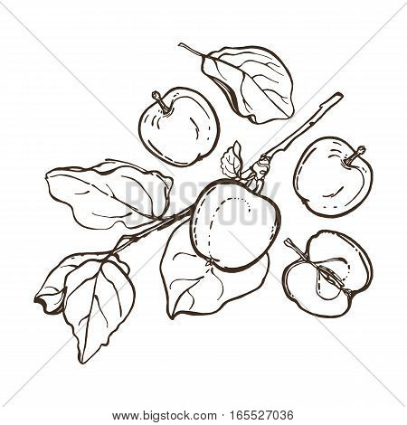 Apples with leaves on a branch. Set. The botanical collection of fruits. Hand drawn. Vector illustration.