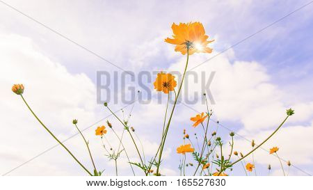 Romantic morning yellow cosmos flowers swaying in the wind and against blue sky background.