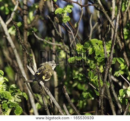 Alert female American Redstart perched in beach shrub