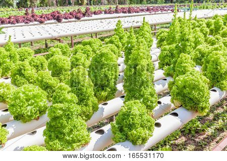 Hydroponic technology of green oak lettuce salad growing in outdoor garden and row of red oak in blurred background.
