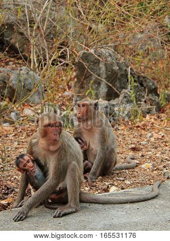 Monkeys Nearly Entrance To Khao Luang Cave
