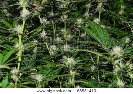 Lots of young green blooming female cannabis plants.