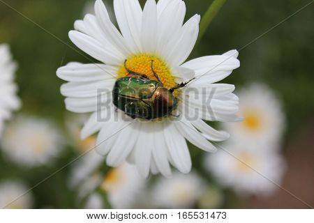Big green glazed bug sitting on white daisy flower. Dogbane leaf Beetle tasting daisy pollen. Shining green beetle on the flower field.