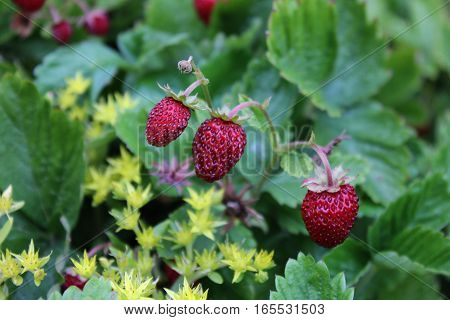 Red wild strawberries growing in the orchard. Planting wild strawberries. Strawberry plantation.