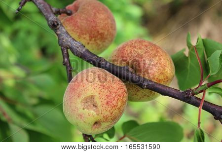 Three apricots growing on branch. Apricots ripening on tree. Apricot tree with fruits.