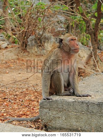 Monkey Nearly Entrance To Khao Luang Cave