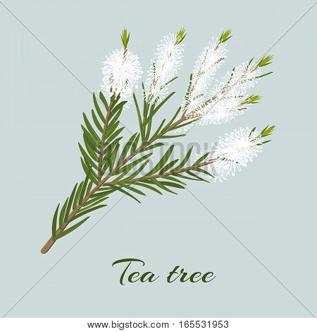 Tea tree blossoming twig. Branch of Melaleuca alternifolia. Vector illustration for label, poster, spa, design, cosmetics, natural health care products. Can be used as logo, price tag, label.