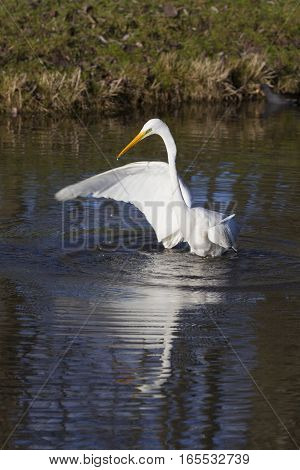 great white egret flaps wing and wades in dutch canal in warm sunlight