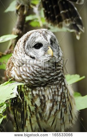 Portrait of a Barred Owl with leaves