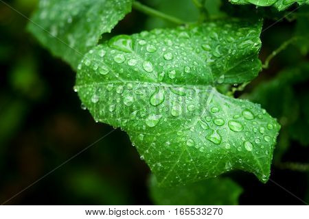 Water droplets on a green leaf after rain.