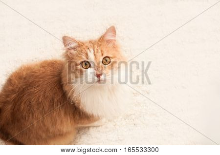 red, fluffy cat on a white background