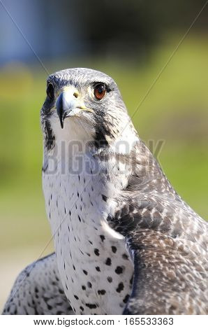 Portrait of a Gyr-Peregrine Falcon with green background