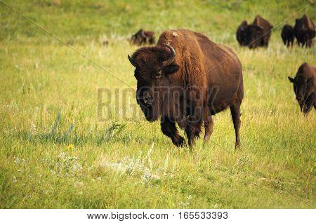 American buffalo in a green grassy field.