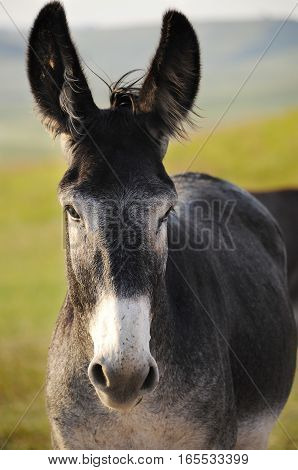 Portrait of a Burro with big ears
