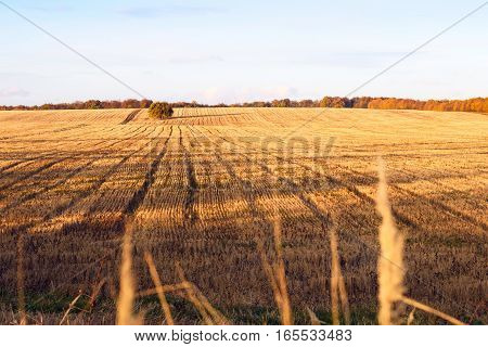 Newly cut autumn wheat field in a village in Moldova at sunset, golden forest