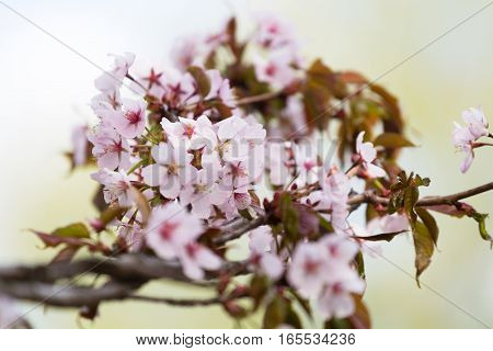 Branch of the blossoming Oriental cherry sakura with gentle pink flowers