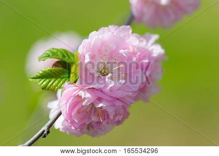 pink Sakura flowers on a green background