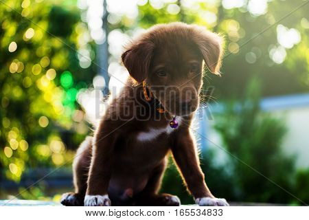 Brown Labrador Puppy With Bokeh Abstract