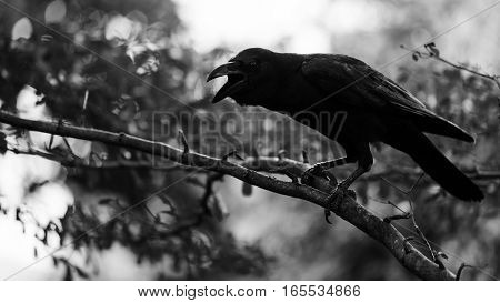Crow Bird With Bokeh