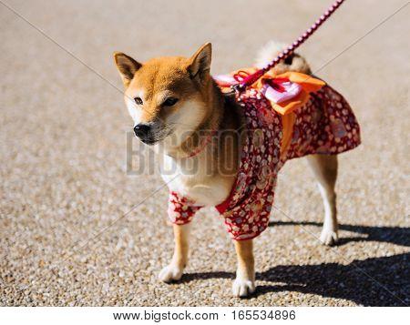 Shiba Inu Dog With Cute Dress