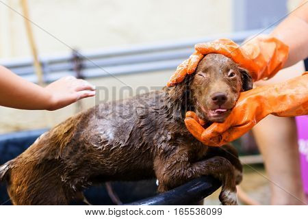 Soaping Labrador Puppy Dog