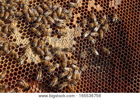 Working Bees On The Yellow Honeycomb With Sweet Honey.