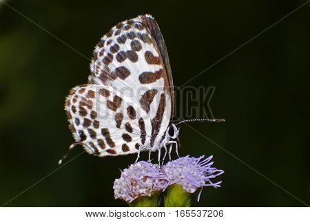 Common Pierrot Castalius rosimon Close up butterfly