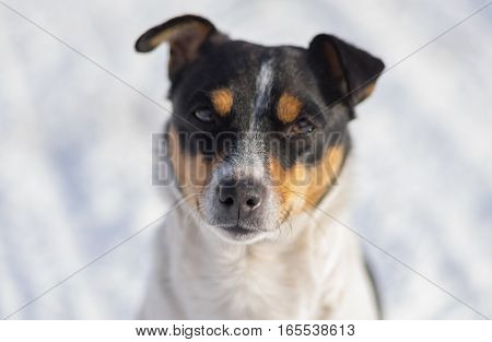 Outdoor portrait of three colored Jack Russell Terrier against white snow (shallow dof)