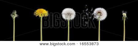 4 stage of a dandelion combined into one image isolated on black background