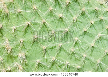 green cactus surface with many spikes background texture