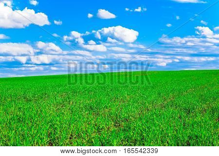 Bright green young grass of the field against the blue sky with whites clouds.