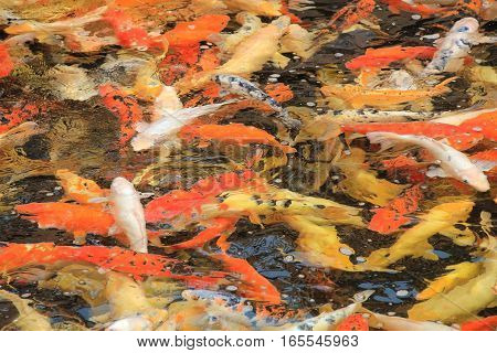 Background of chinese carp in the water