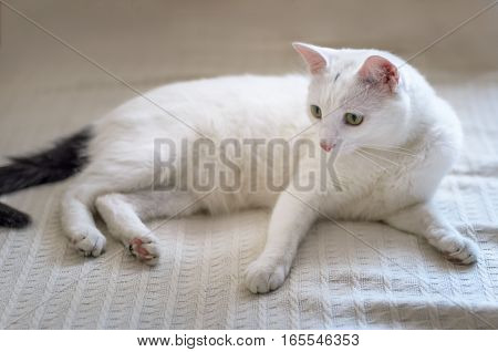 White cat with yellow eyes close up on a light background