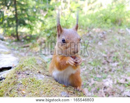 Cute squirrel eating a nut closeup. Looking at the camera.
