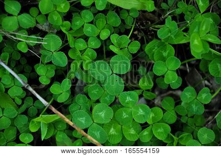 Green leaves of clover. Closeup macro photo