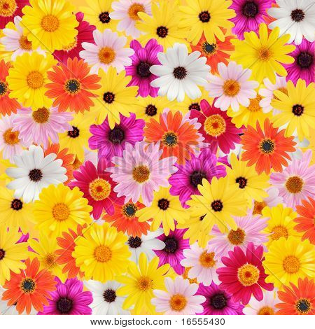 Colorful daisy background