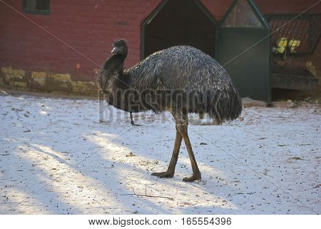 Emu (Dromaius novaehollandiae) walking on the snow. In Zagreb Zoo, Croatia. poster