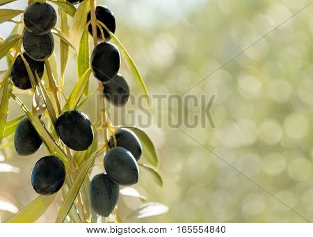 horizontal image of warm summer light on a group of olives hanging from a tree in a mediterranean country negative space for words and text on a bokeh background