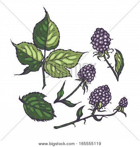 Leaves and blackberries. Hand drawn illustration set for design. Botanical.