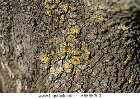 Macro detail of yellowish Lichen on a tree trunk