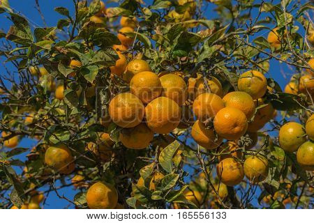 Branch of an orange tree, Citrus aurantiumen. Bitter orange.
