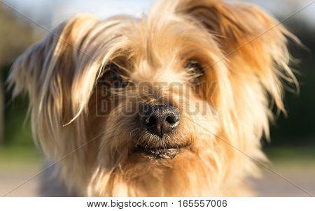Macro Closeup detail of dog nose Yorkshire Terrier brown dog