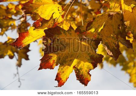 Vibrant and colorful orange yellow and red maple tree leaves in autumn