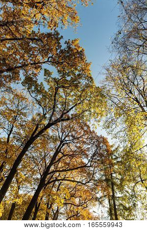 crown of deciduous trees on a sunny autumn day