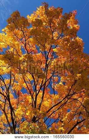 Vibrant And Colorful Orange, Yellow And Red Maple Tree Leaves