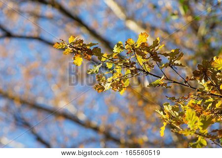 oak branch with autumn leaves in the foreground