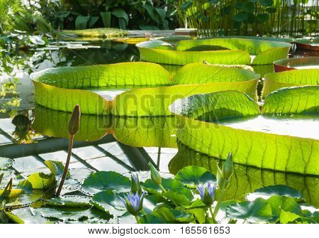 Huge water Lily Victoria Amazonian floating in the pool greenhouse
